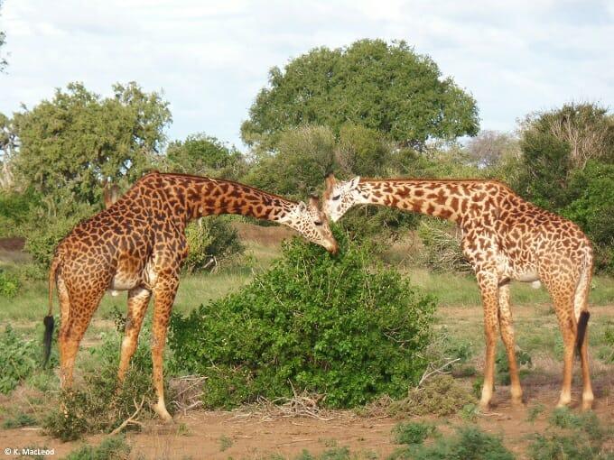 Giraffes eating in Tsavo East