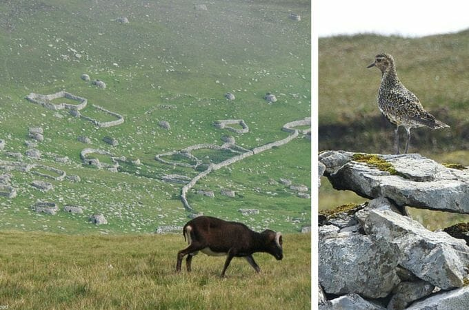 Sheep and birds among the stone cleits on St Kilda