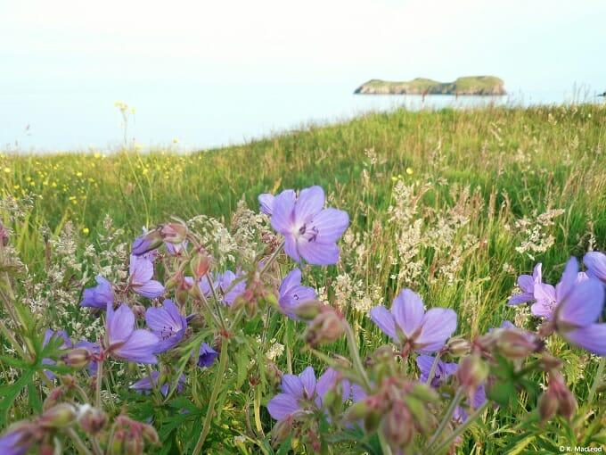 Summer flowers at Bayble Beach, Isle of Lewis