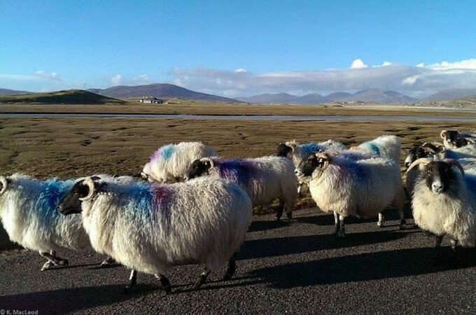 Sheep traffic jam near Seilebost, Isle of Harris