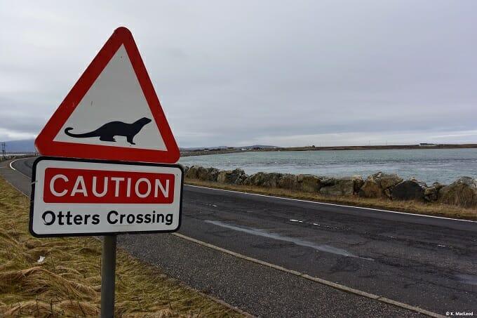Otters crossing, Benbecula