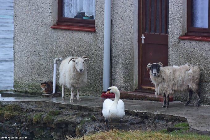 Sheep and a swan
