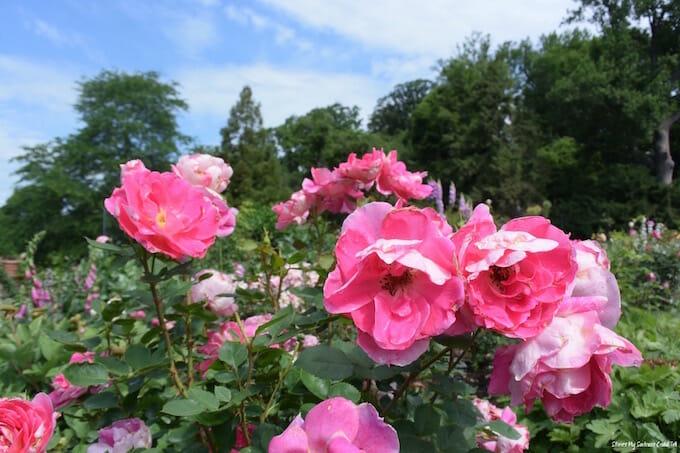 Morris Arboretum Roses