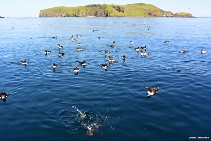 Birds diving at the Shiants