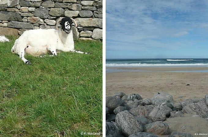 A lone sheep near Dal Mor