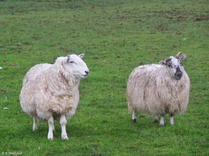 Sheep on a Lewis croft at Air an Lot
