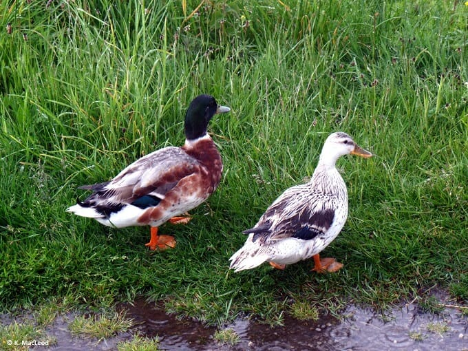 Ducks in puddles at Air an Lot