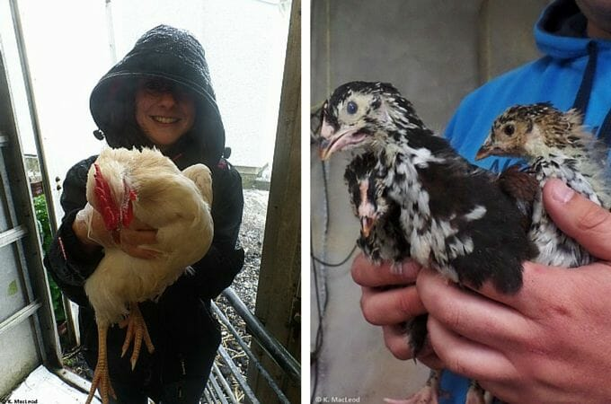 Holding chickens at Air an Lot, Isle of Lewis