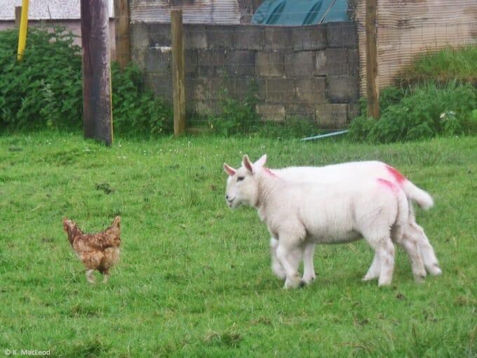 Lambs chasing a chicken at Air an Lot