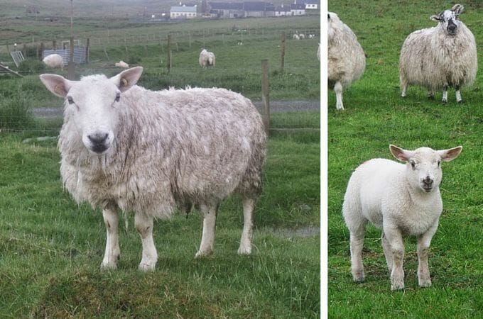 Sheep at Air an Lot, Isle of Lewis