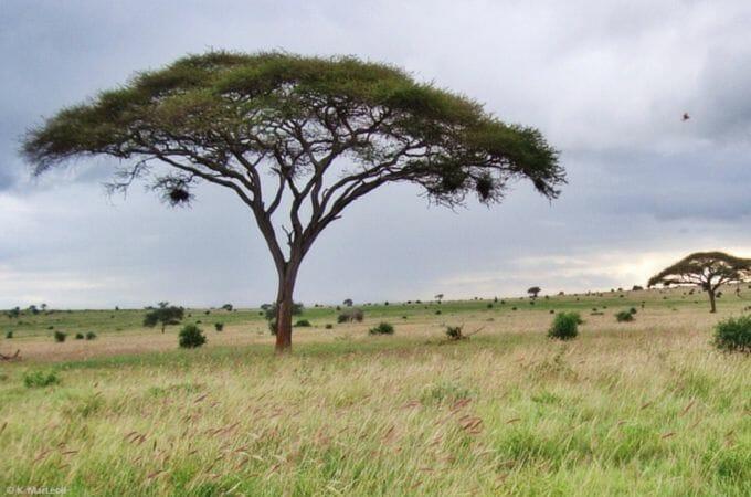 Umbrella tree seen on safari in Tsavo West