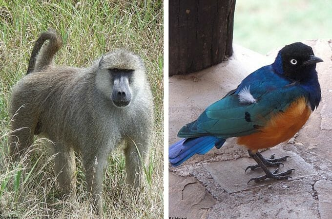 Baboon and starling on safari in Tsavo West