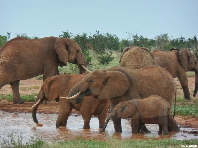 A herd of elephants at a Tsavo East watering hole