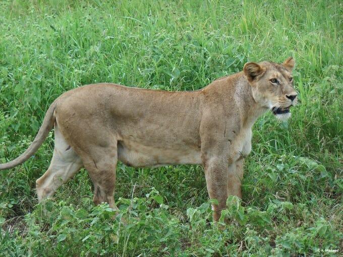 Lioness stalking through the grass