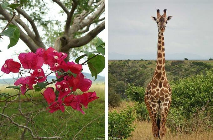 Giraffe seen on safari in Tsavo West