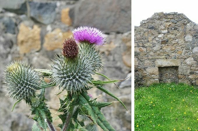 Thistle inside an old house in Village Bay, St Kilda