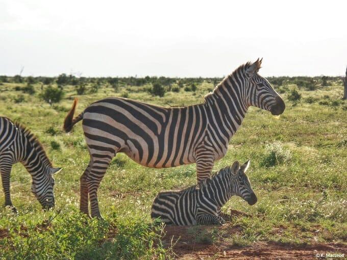 Zebra parent and child in Tsavo East