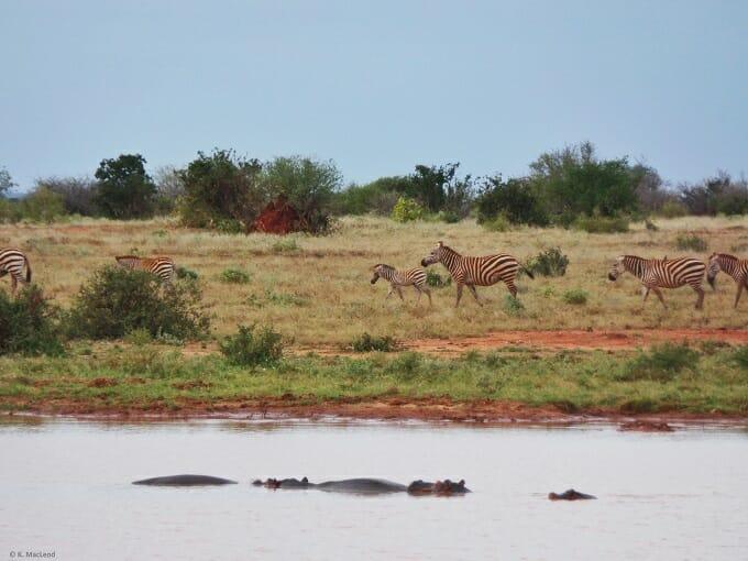 Zebras and hippos Tsavo East