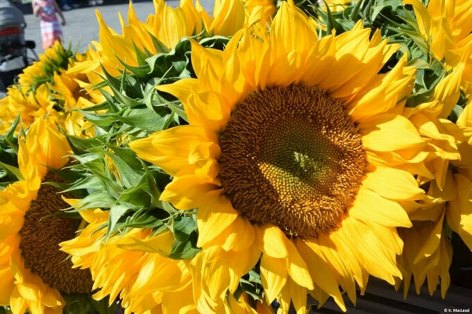 Sunflowers at Kennebunk Farmer's Market in Maine