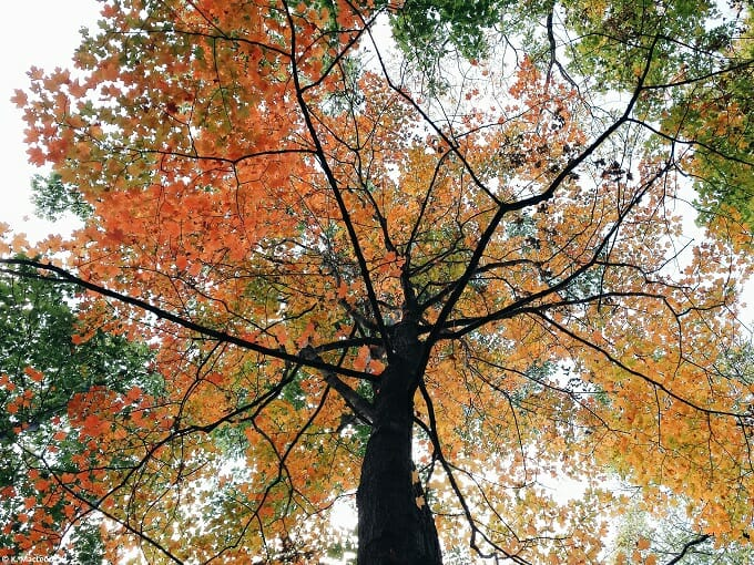 Autumn leaves on an old tree