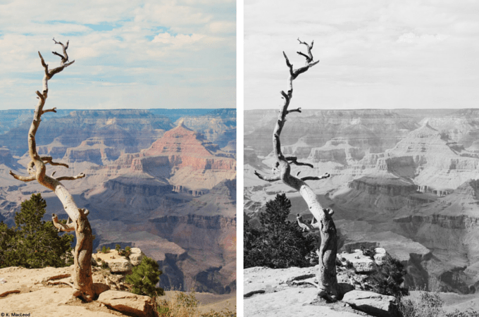 Dead tree at the Grand Canyon