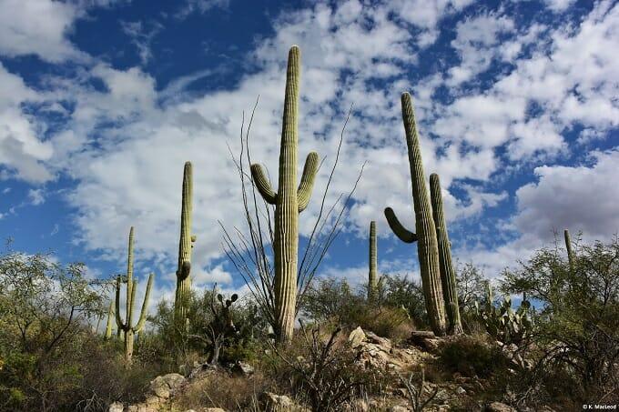Saguaro cacti against a blue sky