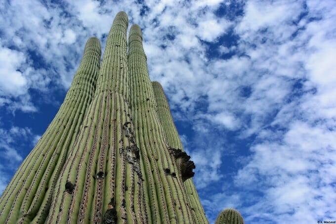 Saguaro cactus in Sabino Canyon