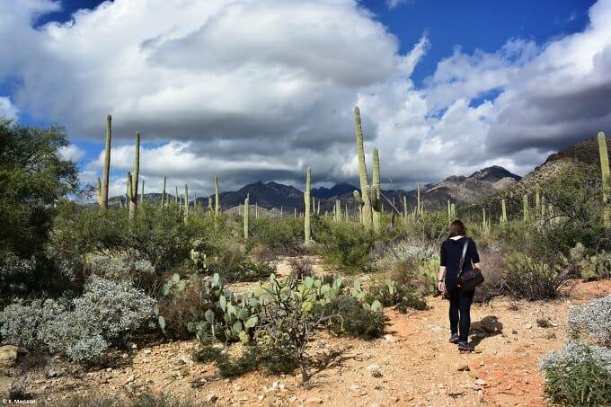 Walking through saguaro cacti in Sabino Canyon