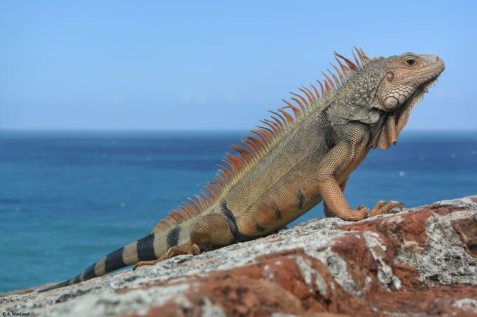 Iguana at El Morro