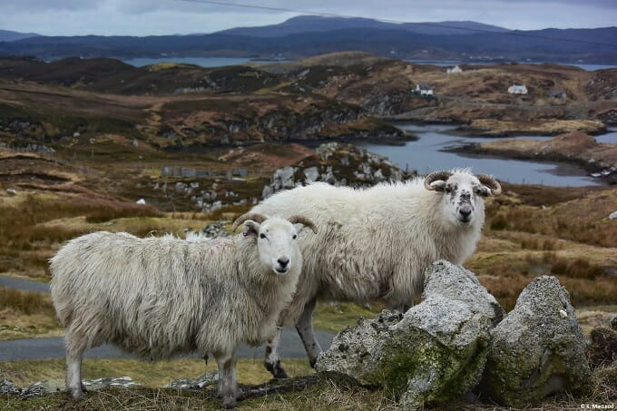Sheep in the Outer Hebrides