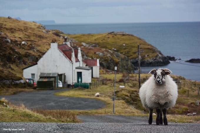 Sheep on the road Scotland